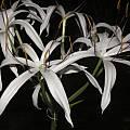Crinum amoenum, Alani Davis