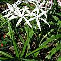 Crinum amoenum, Nestor White