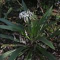 Crinum asiaticum, Alani Davis