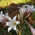 Crinum bulbispermum Jumbo, Alani Davis