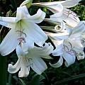Crinum bulbispermum × C. lugardiae, Alani Davis [Shift+click to enlarge, Click to go to wiki entry]
