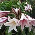 Crinum bulbispermum Sacramento, Angelo Porcelli