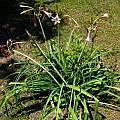 Crinum bulbispermum, Alani Davis