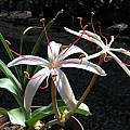 Crinum buphanoides, Rogan Roth [Shift+click to enlarge, Click to go to wiki entry]