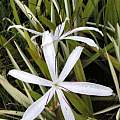 Crinum caribaeum, Alani Davis
