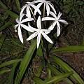 Crinum erubescens Type 2 variation, blooming plant, Alani Davis