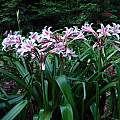 Crinum × herbertii, multiple blooming scapes, Jay Yourch