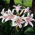 Crinum ×herbertii umbel, Alani Davis