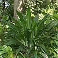 Crinum jagus var. called vanillodorum, Alani Davis