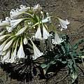Crinum macowanii taken near Cathcart, Mary Sue Ittner