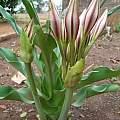 Crinum macowanii, Nicholas Wightman