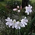 Crinum macowanii umbels, Alani Davis