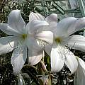 Closeup Crinum moorei 'Alba', David Fenwick [Shift+click to enlarge, Click to go to wiki entry]
