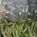 Crinum moorei in flower at an old church in Plymouth, Devon, David Fenwick