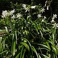 Clump of blooming Crinum × powellii 'Album', Jay Yourch