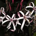 Crinum procerum splendens umbel, Alani Davis [Shift+click to enlarge, Click to go to wiki entry]