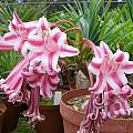 Crinum stuhlmannii, Rogan Roth [Shift+click to enlarge, Click to go to wiki entry]