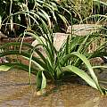 Crinum variabile, Kamiesberg, Andrew Harvie [Shift+click to enlarge, Click to go to wiki entry]