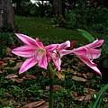 Crinum × worsleyi umbel, Alani Davis