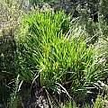 Crocosmia fucata leaves, Kamieskroon, Cameron McMaster