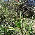 Crocosmia fucata plant, Kamieskroon, Cameron McMaster