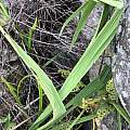 Crocosmia mathewsiana, Troos van der Merwe, iNaturalist, CC BY-NC
