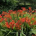 Crocosmia unknown cultivar, David Pilling