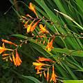 Crocosmia x crocosmiiflora, David Pilling