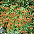 Crocosmia x crocosmiiflora, David Pilling