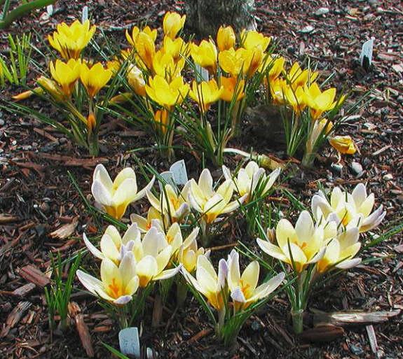 1a2a806ff29ea5 ... Mark McDonough Crocus chrysanthus  Advance
