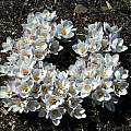 Crocus chrysanthus 'Prins Claus', Mark McDonough [Shift+click to enlarge, Click to go to wiki entry]