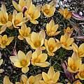 Crocus angustifolius, mass planting, Jane McGary