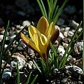 Crocus angustifolius, Mary Sue Ittner [Shift+click to enlarge, Click to go to wiki entry]