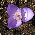Crocus banaticus - divided style, Bob Rutemoeller [Shift+click to enlarge, Click to go to wiki entry]
