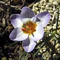 Crocus biflorus ssp. isauricus, John Lonsdale