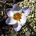 Crocus isauricus, syn. Crocus biflorus ssp. isauricus, John Lonsdale [Shift+click to enlarge, Click to go to wiki entry]