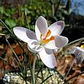 Crocus cambessedesii, John Lonsdale [Shift+click to enlarge, Click to go to wiki entry]