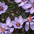 Crocus cartwrightianus, Jane McGary