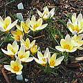 Crocus chrysanthus 'Advance', Mark McDonough