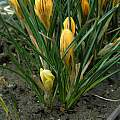 CMV infection in Crocus chrysanthus 'Fuscotinctus', Janos Agoston