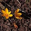 Crocus chrysanthus, John Lonsdale