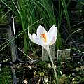 Crocus corsicus white with soft pink flame, Roland and Gemma