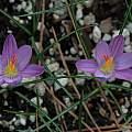 Crocus corsicus, Mary Sue Ittner