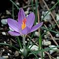Crocus corsicus closeup, Mary Sue Ittner [Shift+click to enlarge, Click to go to wiki entry]