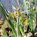 Crocus danfordiae, John Lonsdale