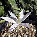 Crocus gilanicus, John Lonsdale [Shift+click to enlarge, Click to go to wiki entry]