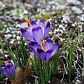 Crocus vernus ssp. vernus 'Dark Eyes', Arnold Trachtenberg [Shift+click to enlarge, Click to go to wiki entry]