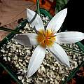 Crocus hyemalis, John Lonsdale [Shift+click to enlarge, Click to go to wiki entry]