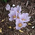 Crocus kotschyanus 'Reliant', Mark McDonough [Shift+click to enlarge, Click to go to wiki entry]