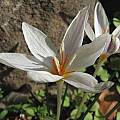 Crocus laevigatus, Nhu Nguyen [Shift+click to enlarge, Click to go to wiki entry]
